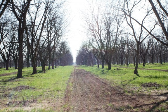 Royalty-Pecan-Farms-Orchard-Dormant-Trees