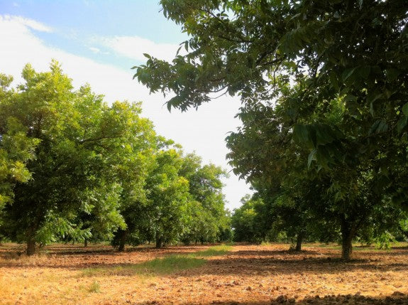 Royalty Pecan Farms   Orchard in July   Buried Drip Irrigation