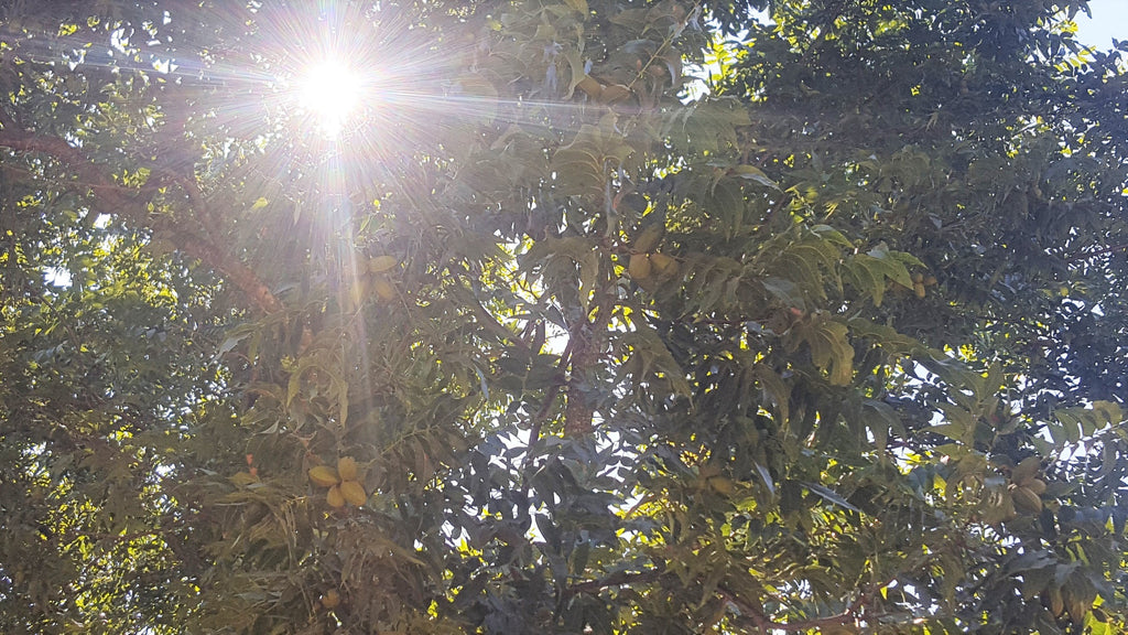 Sunlight shining through the orchard canopy at Royalty Pecan Farms