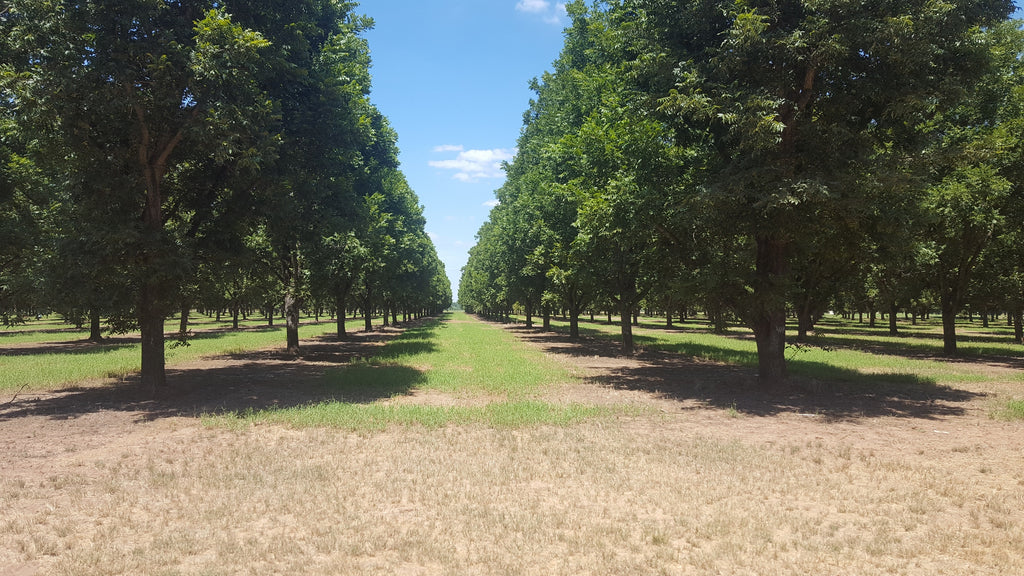Row of Wichitia trees at Royalty Pecan Farms
