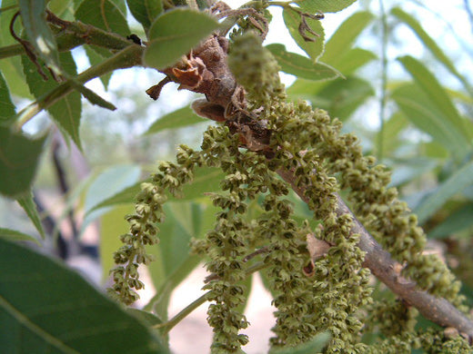 Catkins containing pollen
