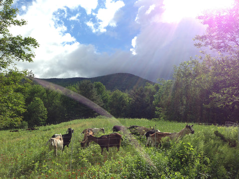 Goats Grazing Browsing Upper Meadow Goshen