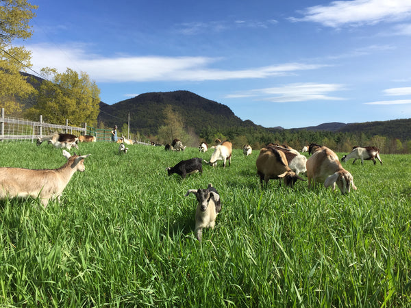 grass-fed goat milk grazing goats