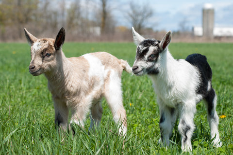 Registered Alpine Goat Kids