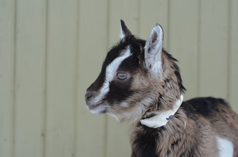 Vermont dairy goat kids for sale