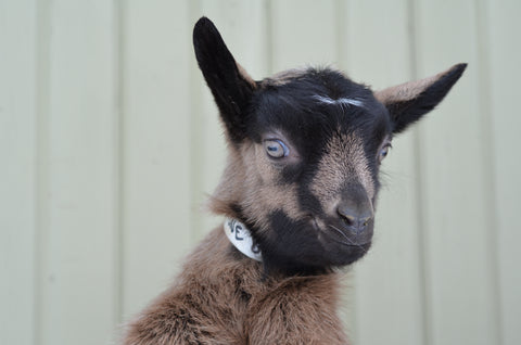 baby goat kids for sale