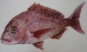 New Zealand Snapper Mounted Print