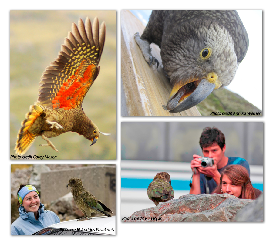 Kea Conservation