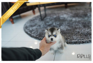(Purchased by Silva) Igloo - Pomsky. M - Rolly Teacup Puppies