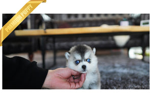 (Purchased by Silva) Igloo - Pomsky. M - Rolly Teacup Puppies - Rolly Pups