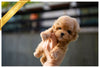 (Purchased by Ordorica) PEANUT BUTTER - Poodle. M - Rolly Teacup Puppies - Rolly Pups