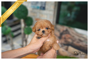 (Purchased by Harrison) BELLE - Maltipoo. F - Rolly Teacup Puppies - Rolly Pups