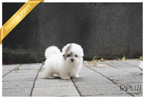 (PURCHASED by Lovewell) ROXY - Coton de Tulear. F - Rolly Teacup Puppies - Rolly Pups