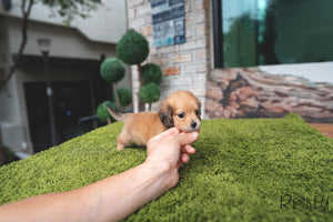 (Purchased by Secret) Milo - Dachshund. M - Rolly Teacup Puppies