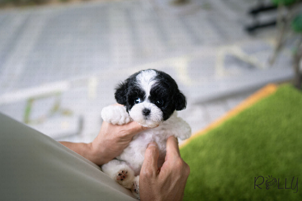 (PURCHASED by Chu) Oreo - Poodle. F - Rolly Teacup Puppies - Rolly Pups