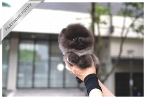 (PURCHASED by Confidential) Oliver - Pomeranian. M - ROLLY PUPS INC