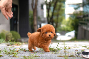 (PURCHASED by Schwenker) Ollie - Poodle. M - ROLLY PUPS INC