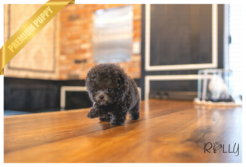 (PURCHASED by Osorio) PEBBLE - Poodle. F - Rolly Teacup Puppies - Rolly Pups