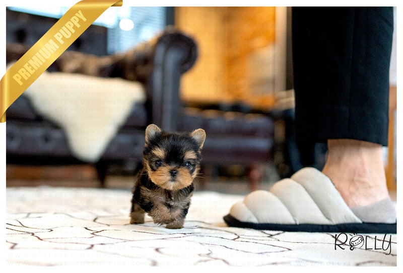 (PURCHASED by Duke) KATE - Yorkie. F - Rolly Teacup Puppies - Rolly Pups