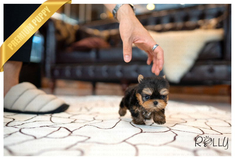(Purchased by ALEMAN) WILLIAM - Yorkie. M - Rolly Teacup Puppies - Rolly Pups