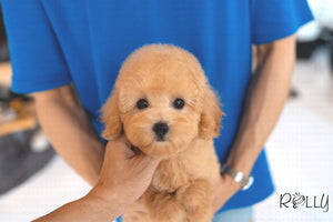 (Purchased by Yacoub) TOFFEE - G. Doodle. F - ROLLY PUPS INC