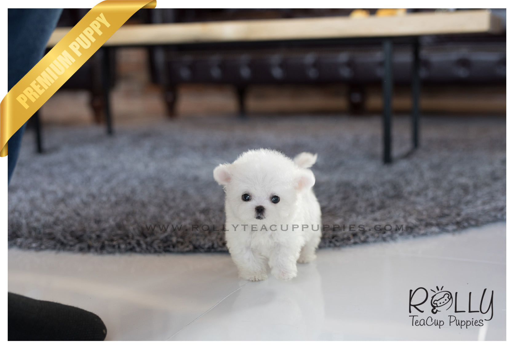 (Sold to Fernandez) Kenya - Bichon. F- Rolly Teacup Puppies