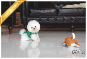 (PURCHASED by Flores) Tequila - Pom. M - Rolly Teacup Puppies - Rolly Pups