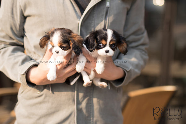 (SOLD to Abrams) Goofy - King Charles. M - Rolly Teacup Puppies