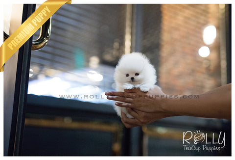 (SOLD to Labrant) Jellybean - Pomeranian. M