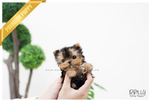 (SOLD to Tilelli) Claire - Yorkshire Terrier. F - Rolly Teacup Puppies