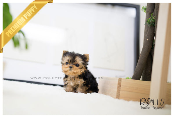 (SOLD to Tilelli) Claire - Yorkshire Terrier. F
