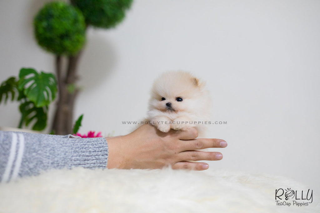 miniature pomeranian for sale near me sold to cheok tiara pomeranian f rolly teacup puppies 2213