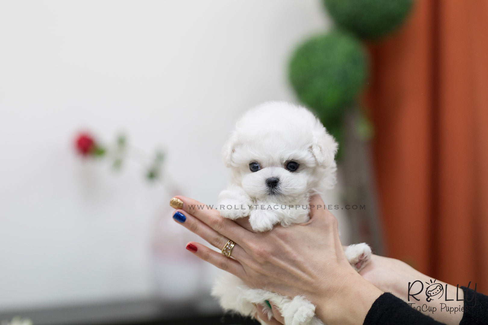 Sold To White Phillip Bichon Frise M Rolly Pups Inc