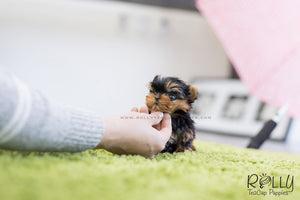 (SOLD To D'Addario) Momo - Yorkshire Terrier. M - Rolly Teacup Puppies