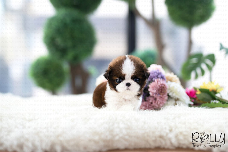 (Purchased by Gyme) Kong - Shih Tzu. M - Rolly Teacup Puppies - Rolly Pups