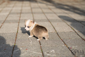 (Purchased by Mayberry) Shorty - Corgi. M - Rolly Teacup Puppies