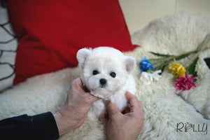(Purchased by Rex) Theo - Bichon. M - Rolly Teacup Puppies