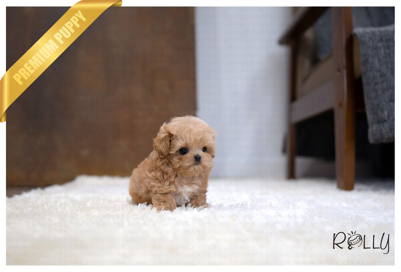 (RESERVED by Roy) ALCOTT - Maltipoo. M - Rolly Teacup Puppies - Rolly Pups