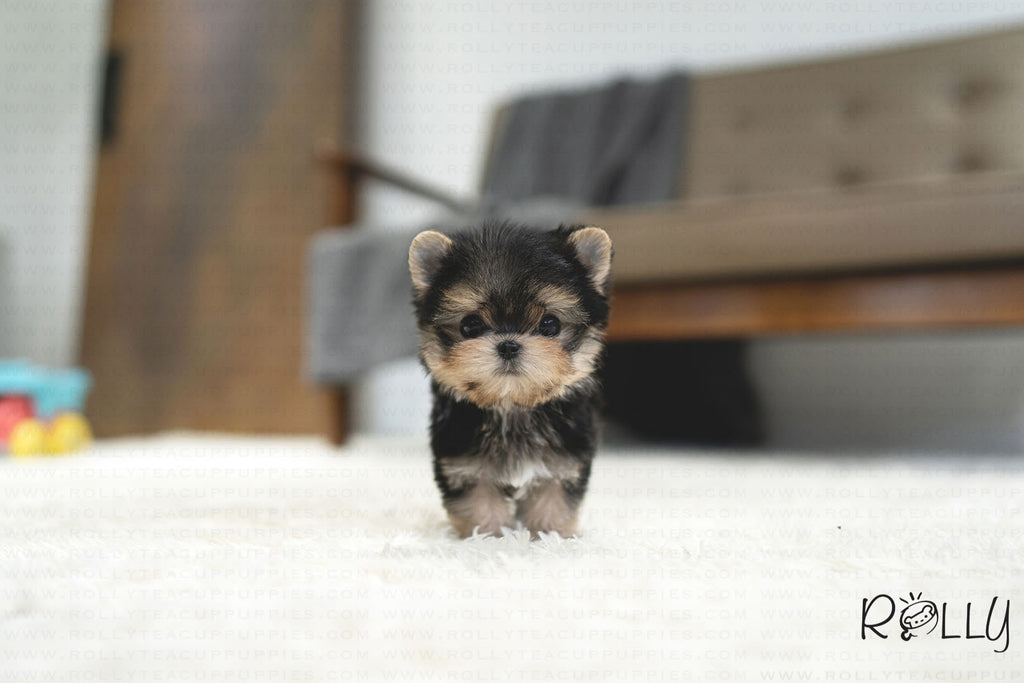 (RESERVED by Zachariah) ATOM - Morkie. M - ROLLY PUPS INC