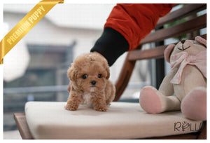 OTTO - Poodle. M - Rolly Teacup Puppies - Rolly Pups