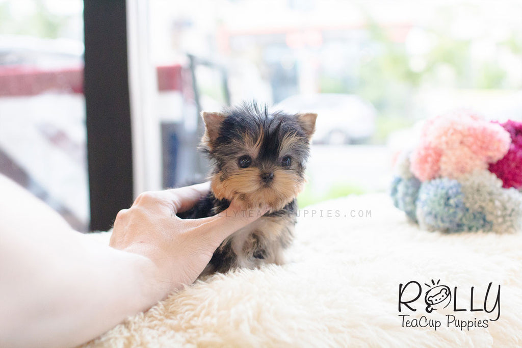 Abby - Yorkie - Rolly Teacup Puppies