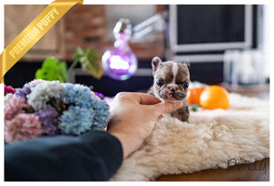 (Purchased by Ilona)Ace - French Bulldog. M - Rolly Teacup Puppies