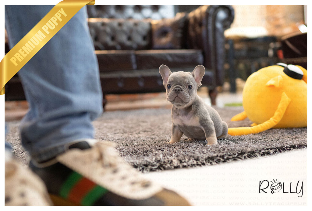 (Purchased by Ilona)Smokey - French Bulldog. M - ROLLY PUPS INC
