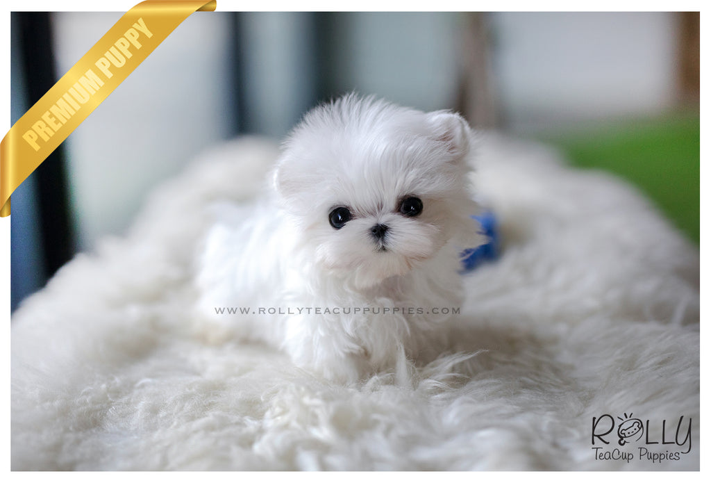 (SOLD to Hong) Ace - Maltese. M - Rolly Teacup Puppies - Rolly Pups