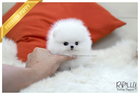 (RESERVED to Naghi) Ace - Pomeranian. M
