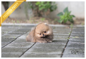 (Purchased by Lorenzo) Acorn - Pomeranian. M - ROLLY PUPS INC