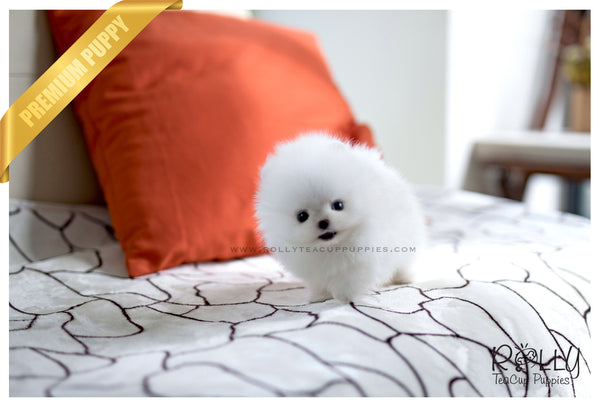 (SOLD to Puente) Ajonjoli - Pomeranian. M - Rolly Teacup Puppies