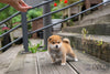 (PURCHASED by Vang) AKI - Shiba. F - ROLLY PUPS INC