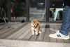 (Purchased by Gignac) Aki - Shiba Inu. F - Rolly Teacup Puppies - Rolly Pups