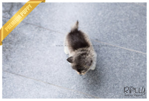 (SOLD to Key) Alaska - Pomsky. M - Rolly Teacup Puppies - Rolly Pups